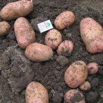 фото картошки сорта Бабушка