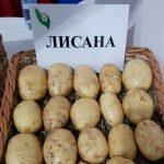 фото картошки Лисана