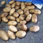 фото картошки Самба
