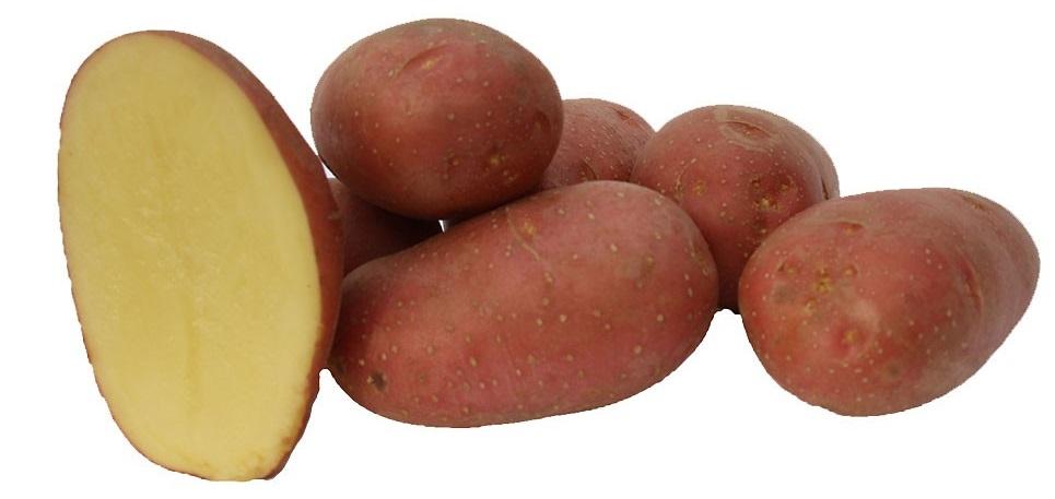 фото сорта картофеля Алуэт