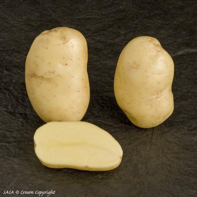 фото сорта картофеля Алверстоун рассет