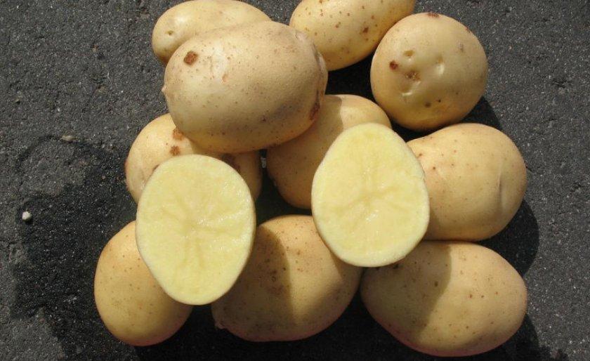 фото сорта картофеля Арктика