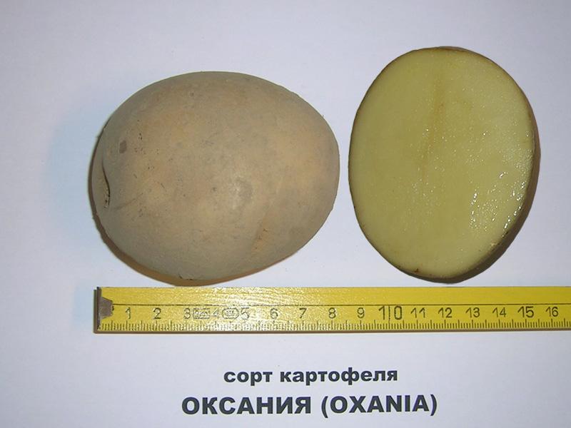 фото сорта картфоеля Оксания