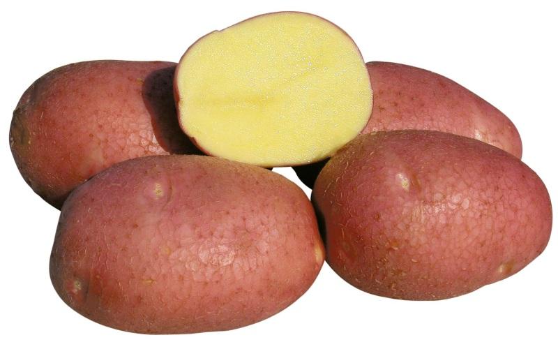 фото сорта картофеля взрывной